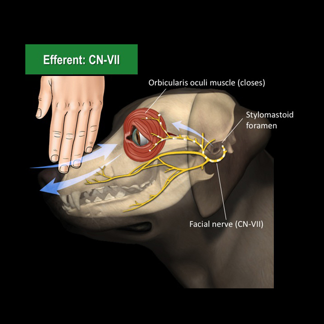 facial-nerve-pass